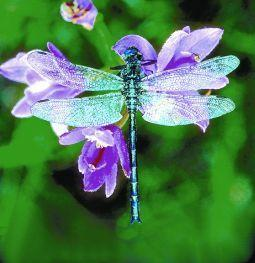 Animal Essences Dragonfly (Libelle)