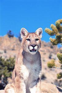 Animal Essences Mountain Lion (Poema)