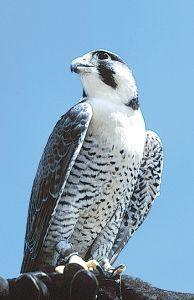 Animal Essences Peregrine Falcon (Slechtvalk)